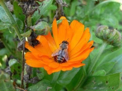 natur-blumen-aufnahmen-kurpark-blumen-bilder-biene-orange