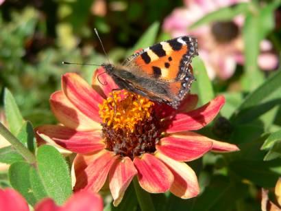 natur-tiere-bilder-blumen-schmetterling-pfauenauge