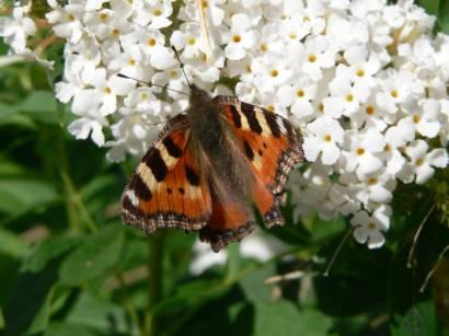 natur-tiere-fotos-blumen-pflanzen-schmetterling-bilder-weiss