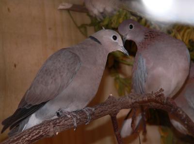 romantische-bilder-tierfotos-tiere-tauben-paar